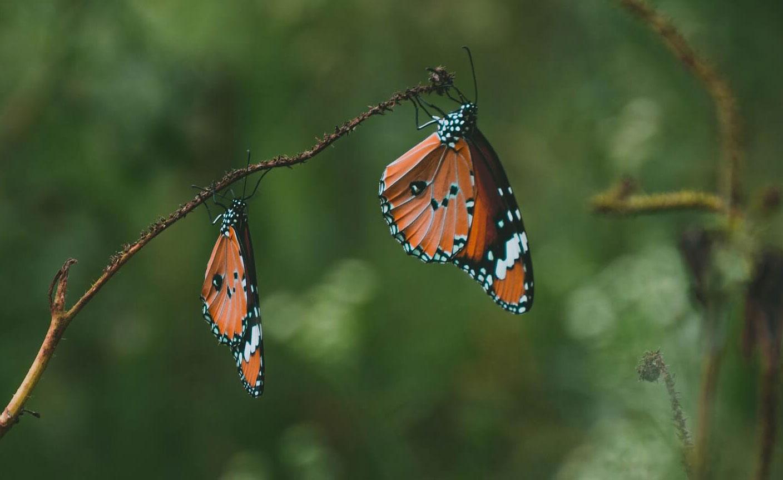butterfly-thumbnial
