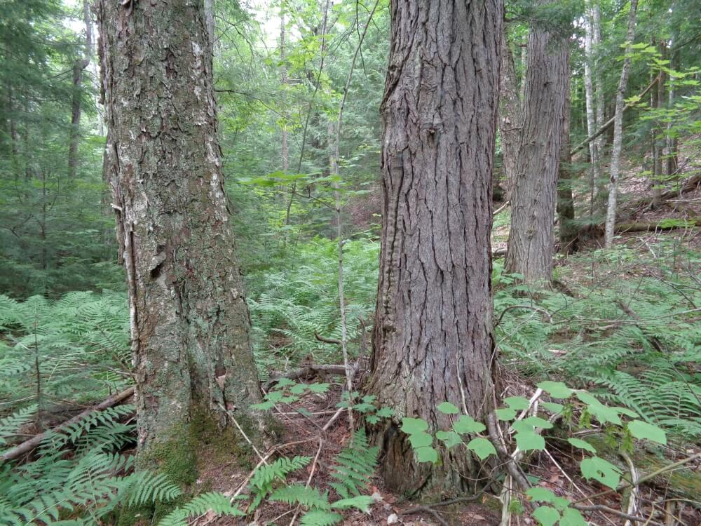 Hardwood-Conifer-Swamp-3140